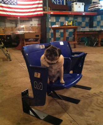 Kirby the Pug sitting on a Metrodome Seat